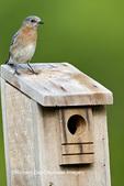01377-17116 Eastern Bluebird (Sialia sialis)  female on nest box, Holmes Co., MS