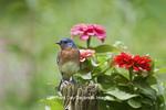 01377-17315 Eastern Bluebird (Sialia sialis) male on fence post near flower garden,  Marion Co., IL