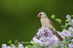 01530-20412 Northern Cardinal (Cardinalis cardinalis) female in Dwarf Korean Lilac (Syringa meyeri 'Palibin') Marion Co., IL