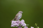 01575-01807 Song Sparrow (Melospiza melodia)  on Dwarf Korean Lilac Bush (Syringa meyeri 'Palibin'), Marion Co., IL