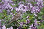 01575-01819 Song Sparrow (Melospiza melodia)  singing on Dwarf Korean Lilac Bush (Syringa meyeri 'Palibin'), Marion Co., IL
