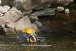 01611-08509 Baltimore Oriole (Icterus galbula) male bathing, Marion Co., IL