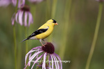 01640-16003 American Goldfinch (Carduelis tristis) male on Pale Purple Coneflower (Echinacea pallida)  in garden, Marion Co., IL