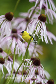 01640-16014 American Goldfinch (Carduelis tristis) male on Pale Purple Coneflower (Echinacea pallida)  in garden, Marion Co., IL