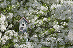 01715-03004 Bird nestbox in blooming Sugartyme Crabapple Tree (Malus sp.) Marion Co., IL