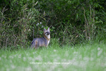 01867-00107 Gray Fox (Urocyon cinereoargenteus) female in field, Holmes Co, MS