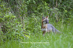 01867-00113 Gray Fox (Urocyon cinereoargenteus) female in field, Holmes Co, MS