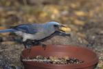 01277-00114 Mexican Jay (Aphelocoma ultramarina) with peanut at feeder,  Madera Canyon   AZ