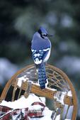 01288-022.09 Blue Jay (Cyanocitta cristata) on snowshoe in winter, Marion Co.  IL