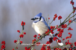 01288-042.16 Blue Jay (Cyanocitta cristata) in icy Green Hawthorn (Crataegus virdis) tree  Marion Co.  IL