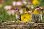01377-082.13 Eastern Bluebird (Sialia sialis) male on fencepost near flower garden , Marion Co.  IL