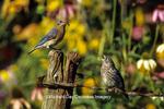 01377-085.08 Eastern Bluebird (Sialia sialis) female feeding fledgling on fence near flower garden, Marion Co.  IL