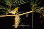 01483-001.01 Pine Warbler (Dendroica pinus) in pine tree  Rankin Co.  MS