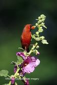 01530-158.07 Northern Cardinal (Cardinalis cardinalis) male on Hollyhock (Alcea rosea) Marion Co.  IL