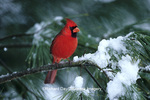 01530-165.07 Northern Cardinal (Cardinalis cardinalis) male in pine tree in winter, Marion Co. IL