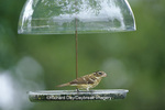 01539-010.19 Rose-breasted Grosbeak (Pheucticus ludovicianus) female on Droll Yankees sunflower tray feeder, Marion Co. IL