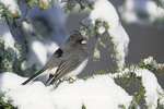 01569-006.15 Dark-eyed Junco (Junco hyemalis) in winter, Marion Co.   IL