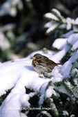01579-001.20 Fox Sparrow (Passerella iliaca) in winter, Marion Co.   IL