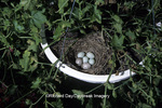 01643-008.18 House Finch nest (Carpodacus mexicanus)  with 4 host & 2 cowbird eggs in flower pot   IL