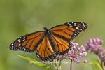 03536-04811 Monarch Butterfly (Danaus plexippus) male on Swamp Milkweed (Asclepias incarnata) Marion Co., IL
