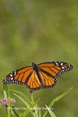 03536-04814 Monarch Butterfly (Danaus plexippus) male on Swamp Milkweed (Asclepias incarnata) Marion Co., IL