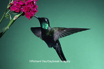 01171-003.03 Magnificent Hummingbird (Eugenes fulgens) male at stock flower   AZ