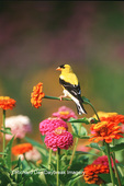 01640-15606 American Goldfinch (Carduelis tristis) male on Zinnias in garden Marion Co. IL