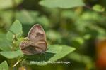 03485-001.12 Appalachian Brown Butterfly (Satyrodes appalachia) Clay Co., IL