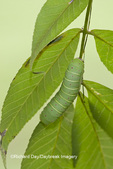04000-006.02 Luna Moth (Actias luna) caterpillar (larva) on host plant Hickory Tree (Carya Sp.) Marion Co., IL