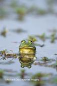 02471-00216 Bullfrog (Rana catesbeiana) in wetland Marion Co. IL