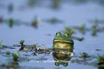 02471-002.20 Bullfrog (Rana catesbeiana) in wetland Marion Co. IL
