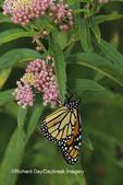 03536-00719  Monarch butterfly (Danaus plexippus) on Swamp Milkweed (Asclepias incarnata) Marion Co., IL