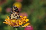 03536-015.17 Monarch butterfly (Danaus plexippus) on orange Zinnia, Marion Co.  IL