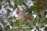 01530-206.05 Northern Cardinal (Cardinalis cardinalis) female in American Holly tree (Ilex opaca) in winter, Marion Co., IL