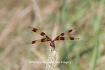 06579-005.10 Halloween Pennant (Celithemis eponina) male perched on grass near wetland, Marion Co., IL