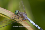 06642-005.17 Blue Dasher (Pachydiplax longipennis) male in wetland, Marion Co., IL