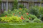 63921-00205 Spring border garden with peonies (Paeonia sp), Clematis (Clematis sp), Cornflower (Centaurea montana), Oriental poppy (Papaver orientale), Indianapolis, IN