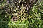 65821-00203 Fishnet Stockings Coleus (solenostemon scutellarioides Plectranthus 'Fishnet Stockings'), Mexican Heather (Cuphea hyssopifolia) Terrace Garden at Sarah P. Duke Gardens, Durham, NC