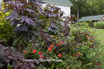 65821-00213 Castor Oil Plant (Ricinus communis), Dahlias, Lantana (Lantana camara) in flower bed, Montrose Gardens Hillsborough, NC