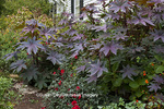 65821-00214 Castor Oil Plant (Ricinus communis), Dahlias, Lantana (Lantana camara) in flower bed, Montrose Gardens Hillsborough, NC