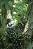 00797-00518 (TF) Broad-winged Hawk (Buteo platypterus) nestlings and adult   IL