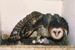 01110-00211 (TF) Common Barn-Owl (Tyto alba) young and eggs    IL