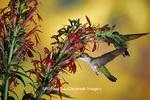 01162-06515 Ruby-throated Hummingbird (Archilochus colubris) females on Cardinal Flower (Lobelia cardinalis) Shelby Co. IL