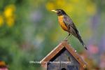 01382-04606 American Robin (Turdus migratorius) on decorative birdhouse in flower garden, Marion Co. IL