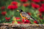 01382-04609 American Robin (Turdus migratorius) on fence near flower garden, Marion Co.  IL