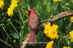 01530-17003 Northern Cardinal (Cardinalis cardinalis) male in flower garden near Lance-leaved Coreopsis (Coreposis lanceolata) Marion Co. IL