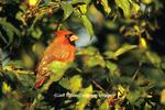 01530-17319  (JM) Northern Cardinal (Cardinalis cardinalis) male in Amur Honeysuckle (Lonicera maackii) Jefferson Co. IL