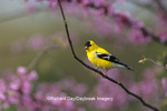 01640-05410 American Goldfinch (Carduelis tristis) male in Redbud tree (Cercis canadensis) Marion Co. IL
