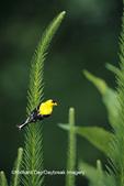 01640-08807 American Goldfinch (Carduelis tristis) male on Blazing Star (Liatris sp.) Marion Co. IL