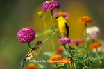 01640-11908 American Goldfinches (Carduelis tristis) male & female on Zinnias in garden Marion Co. IL